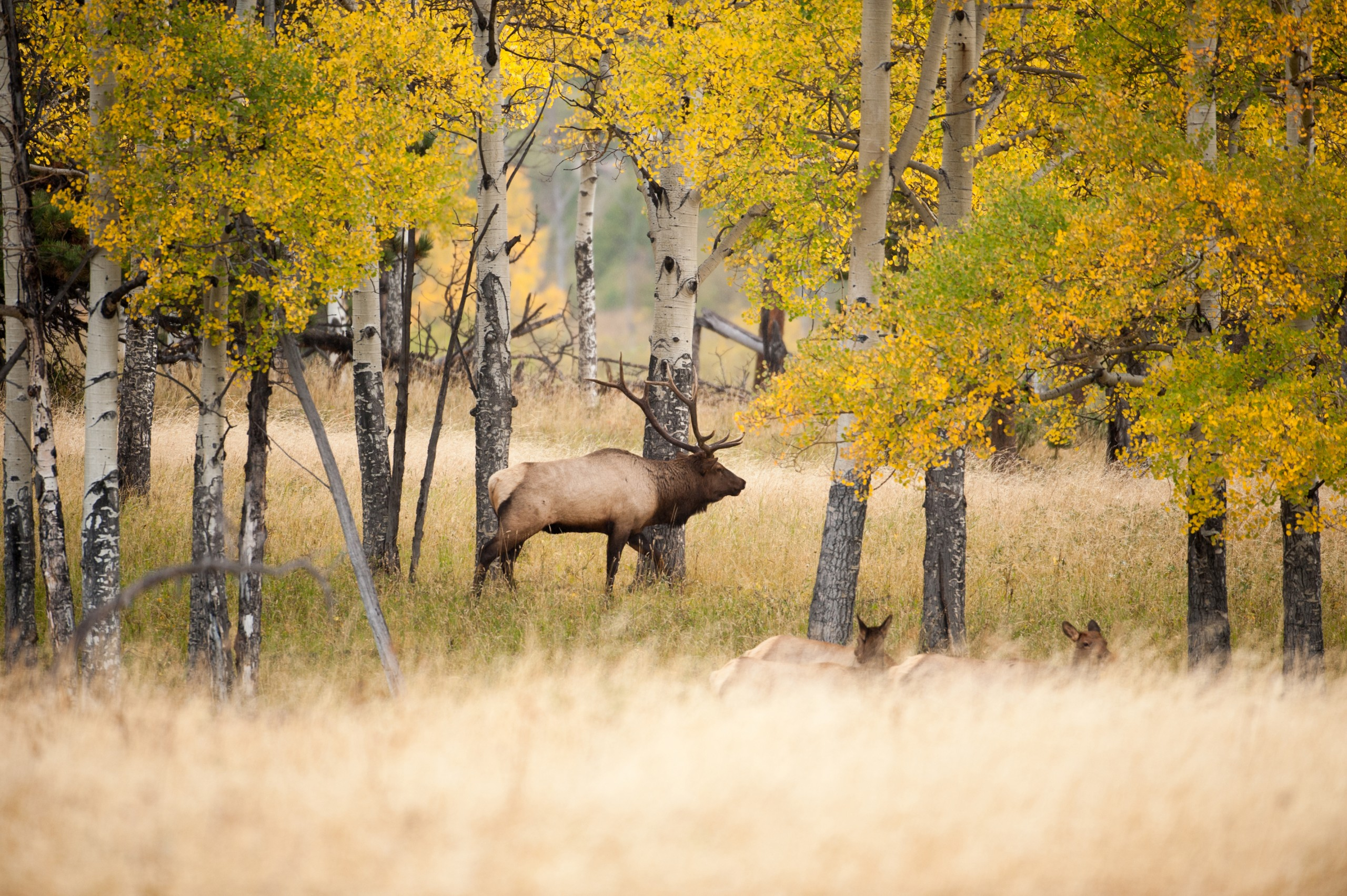Large,north,american,bull,elk,with,aspen,trees,during,the
