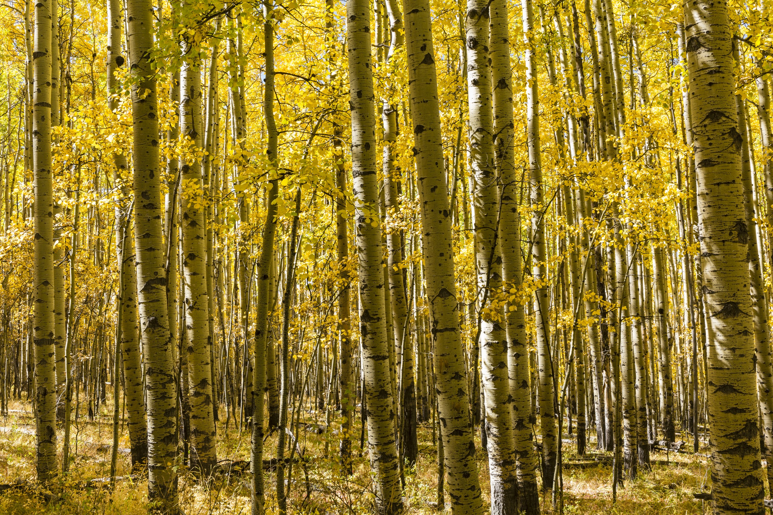 A,grove,of,aspen,trees,in,full,autumn,color,on