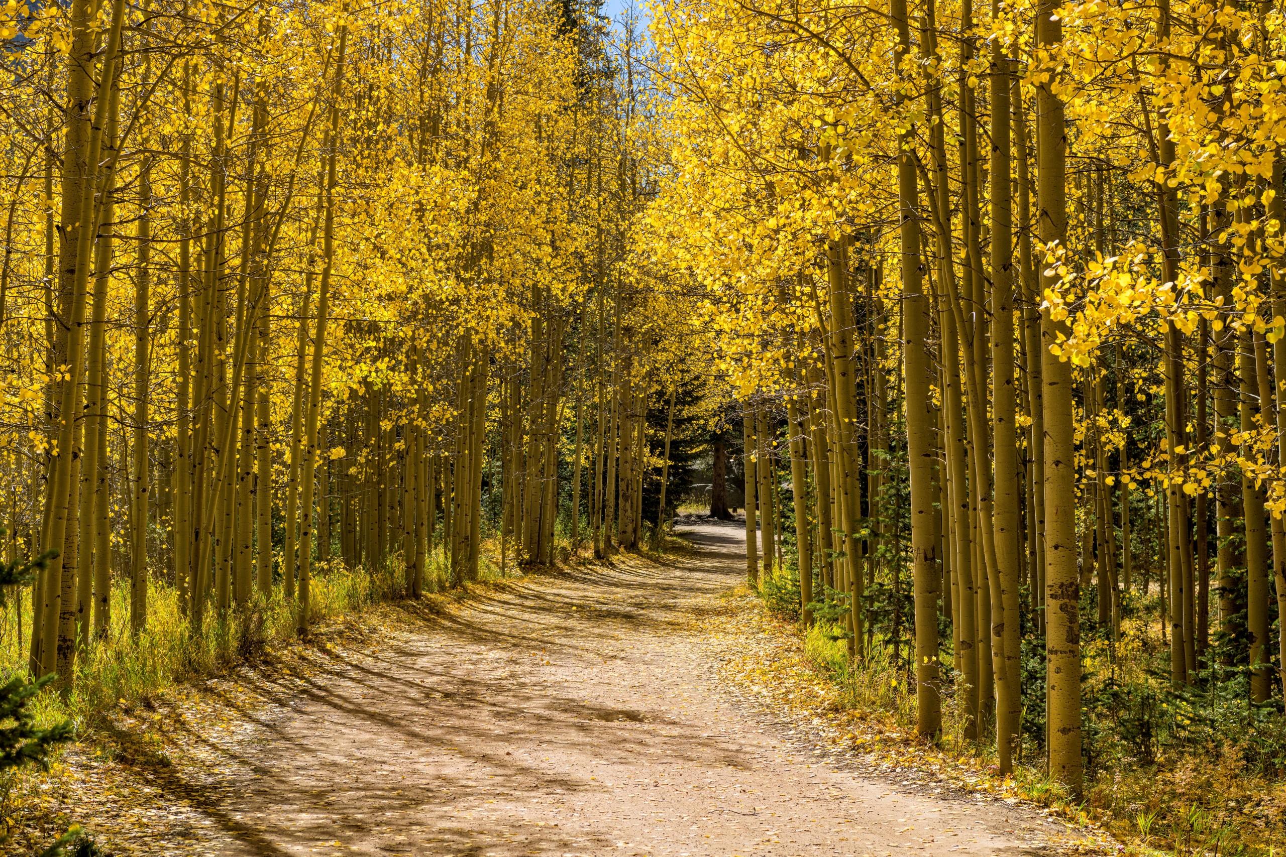 Autumn,aspen,grove, ,a,hiking,trail,winding,through,a